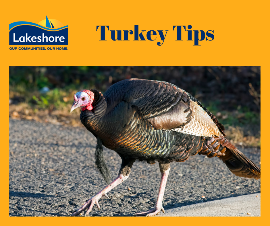 wild turkey on road with Lakeshore logo and title turkey tips